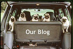 seven pugs looking out the back of a Dodge Caravan whose hatch is raised